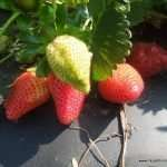 A Strawberry Pickin' Good Time